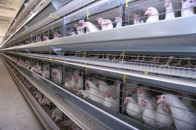 Вологодские чиновники настаивают на выделении из бюджета 98 млн рублей на птицефабрики