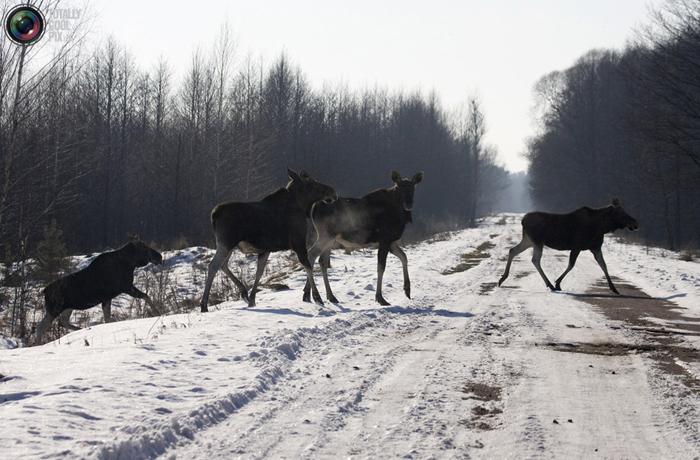 Электрические пастухи доказали свою эффективность в Вологодской области