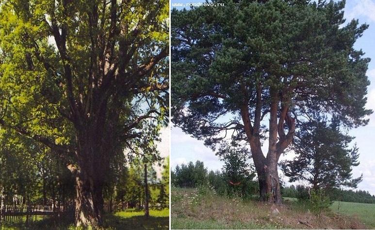 Дуб из Вологодской области внесли в реестр самых «пожилых» деревьев России