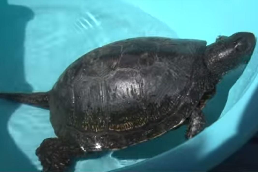Черепаху выловили электрики в Вологодской области