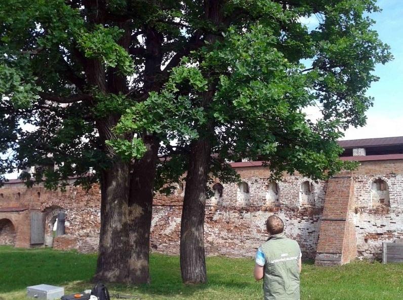 Вологодский 200-летний дуб официально признали памятником живой природы.