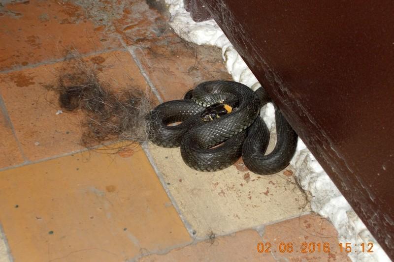 Жительница Череповца наткнулась в подъезде дома на крупную змею