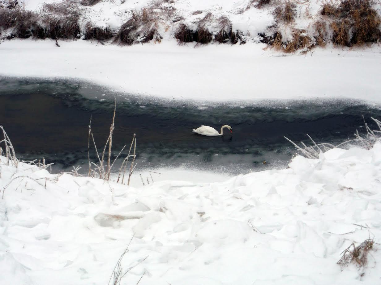 В Никольском районе охотоведы спасли от гибели одинокого лебедя