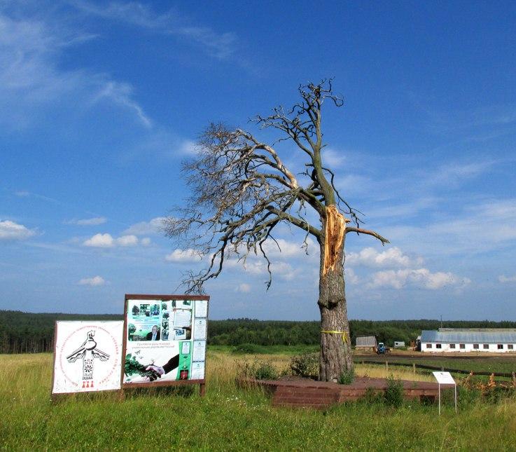 Тарножане могут потерять старейшее дерево в районе