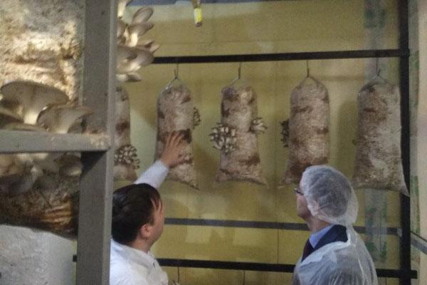 Областные власти поддержат производство грибов вешенок в Шекснинском районе