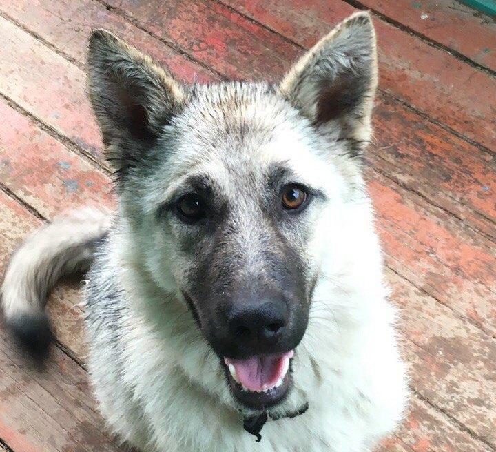 Роковая прогулка: в Нюксенском районе машина полиции насмерть сбила хозяйскую собаку