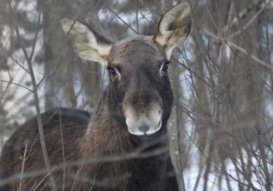 В Череповецком районе браконьер убил беременную лосиху