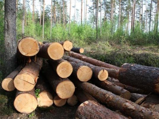 В Великоустюгском районе будут судить чиновника-единоросса, который разрешил незаконно вырубить лес на 35,7 млн рублей