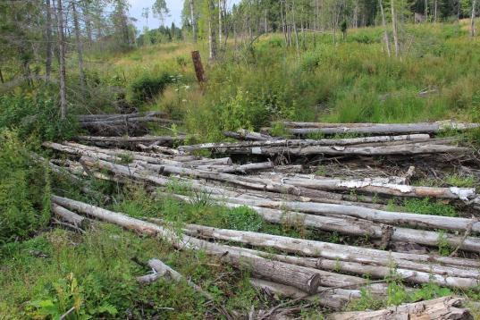 Массовыми незаконными вырубками леса в Шекснинском районе занялась генпрокуратура