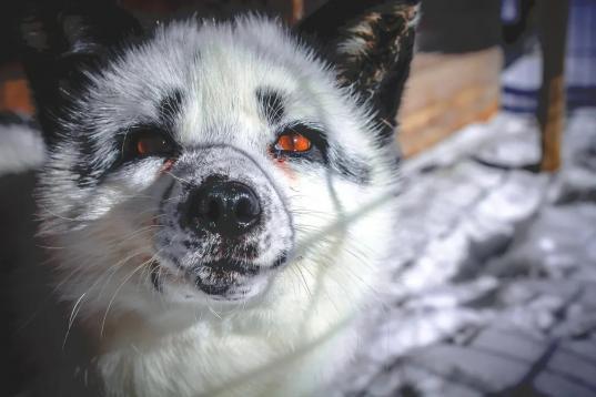 Белого лиса Лешу, сбежавшего изконтактного зоопарка в Череповецком районе, загрызли лайки