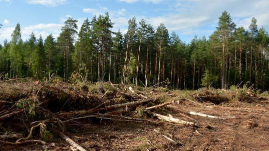 В Череповце сотрудник лесничества за взятки продал древесину для ее незаконного использования