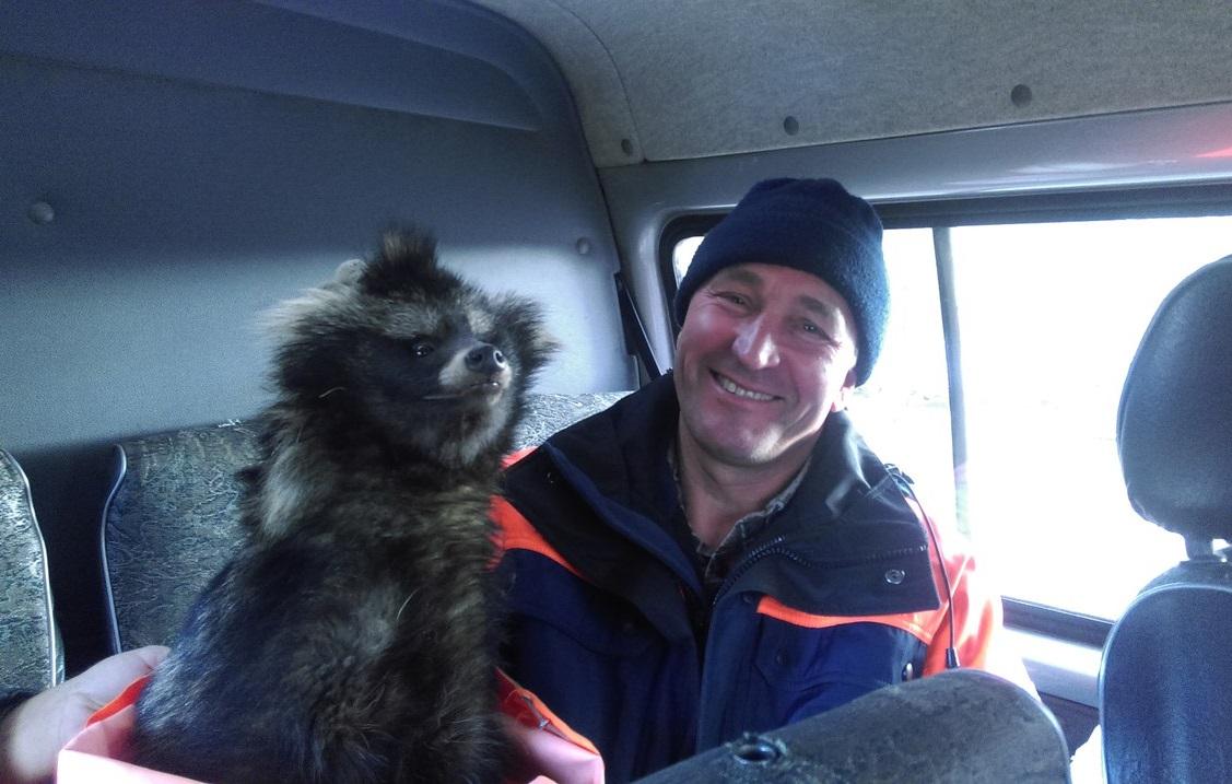 В Вологде спасатели достали из ямы енота