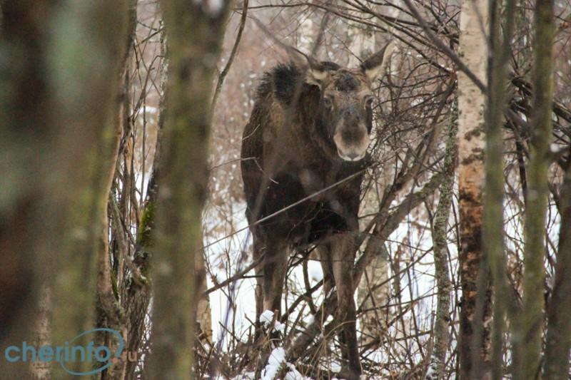 Задыхавшегося в браконьерской петле лося спасли в Череповецком районе