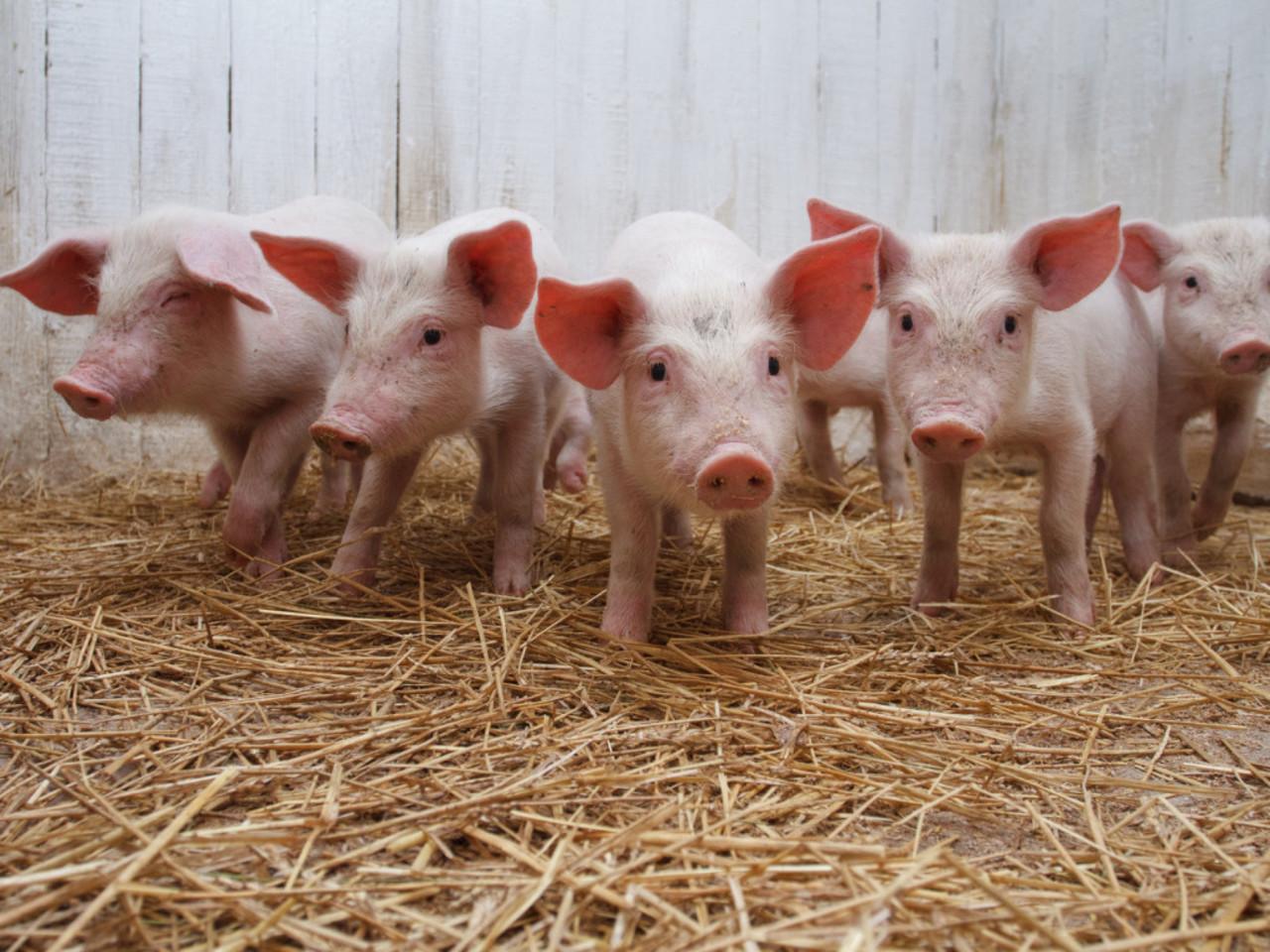 Житель Ярославля завез в Вологодский район африканскую чуму свиней