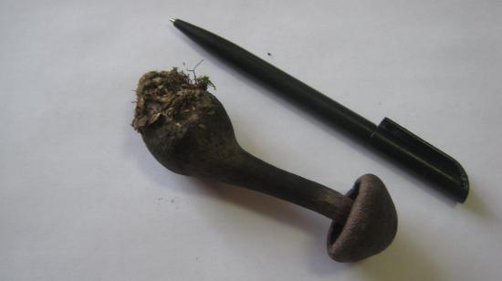 Паутинник фиолетовый относится к малоизвестным съедобным грибам, его можно встретить в основном на севере России в смешанных лесах. Растет с конца лета по октябрь. Его можно мариновать, варить, солить и жарить.