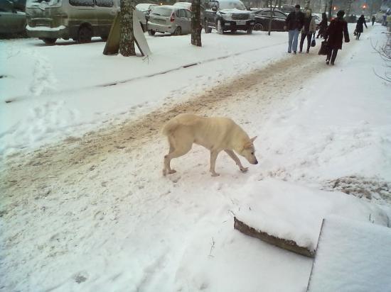 Трудно увидеть белую собаку на белом снегу))