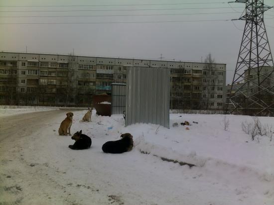 Стаи бродячих собак в Заречье