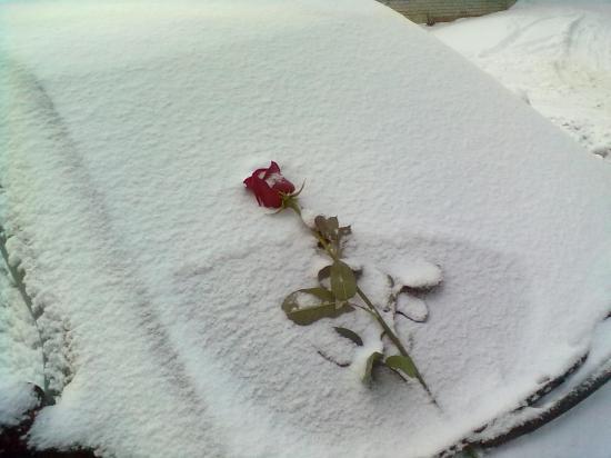 Красная роза на белом снегу. Романтика!