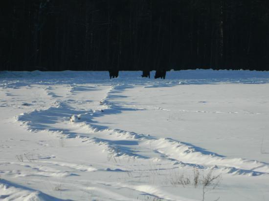 Вообще, зубры появились в Усть-Кубинском районе ещё в 90-х годах. Сами пришли из питомника в Кирилловском районе. Один местный житель рассказал, что совсем недавно в питомник привезли ещё с десяток животных. Теперь здесь их стало почти 50!