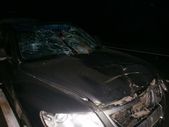 Автомобиль Фольксваген сбил лося на трассе Вологда - Новая Ладога