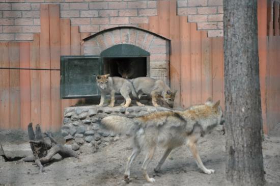 В зоосаде Деда Мороза родилось четверо волчат. До месячного возраста они жили в закрытом от посторонних помещение. И вот сейчас показались на публике Фото Ивана Кривошеина