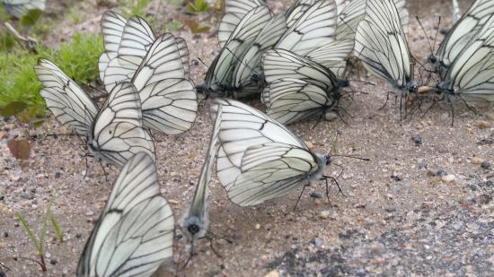 Кукобойские бабочки