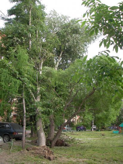Вывернутые с корнем деревья находятся в непосредственной близости к подъезду дома, нависая над стоянкой