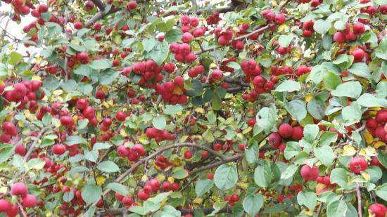Яблонька в парке