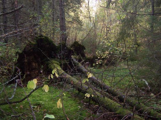 Сколько лет провалялись эти деревья? Некоторые ещё стоят, но могут упасть от лёгкого прикосновения или дуновения ветра... в любой момент!
