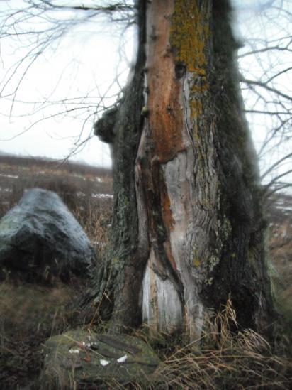 старый тополь на месте бывшей деревни Ерденево