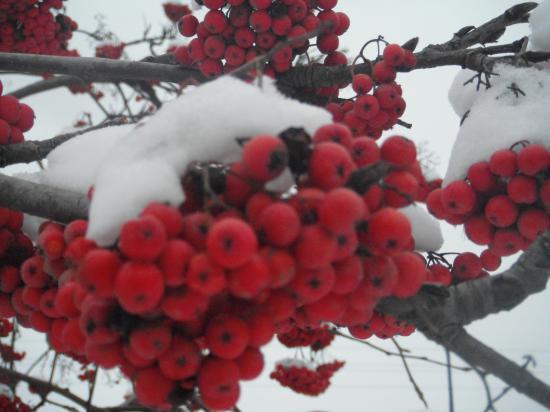 гроздья рябины на белом снегу