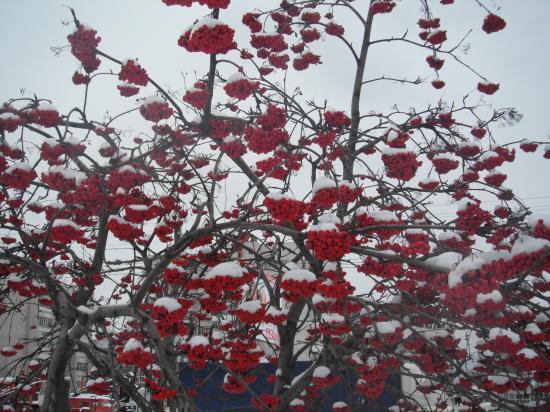 почему-то в Вологде рябину птицы не тронули, а у нас в деревне все ягоды сьели