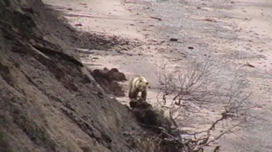 Шкура медведя отливала бежевым цветом.