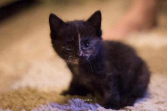 Бездомные котята, если их взяли в дом, самые благодарные, самые ласковые. Если вырастет, то будет красавец: Чёрная шубка в брызгах рыжих, жёлтые пятна, яркие огоньки глаз.