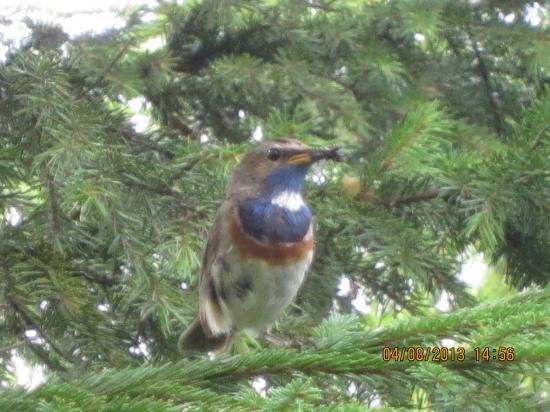 Варакушка — птица семейства дроздовых отряда воробьинообразных. В зависимости от подхода к классификации, вместе со всем родом соловьи может относиться к семейству мухоловковых.
