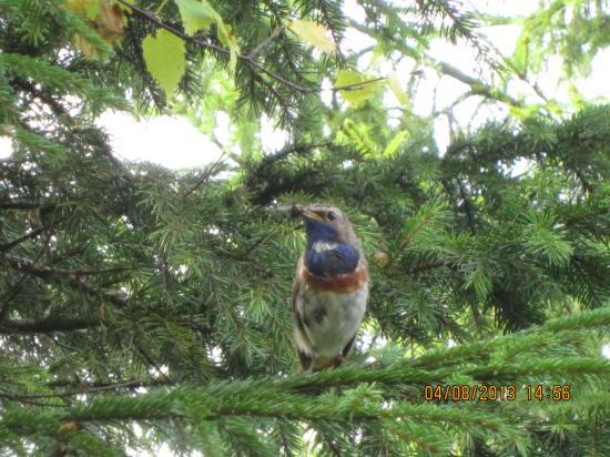 Варакушка — насекомоядная птица. В питании преобладают насекомые и их личинки, обитающие на земле. Осенью значительную долю в питании занимают ягоды.