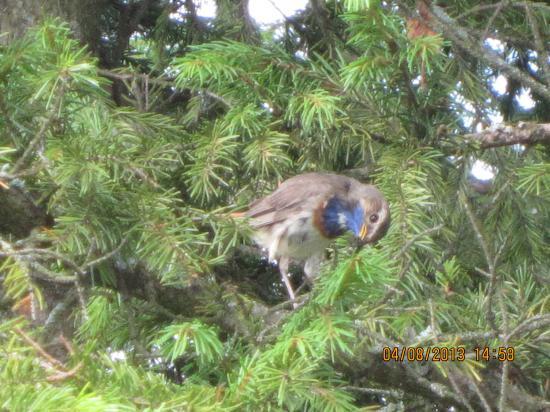 Вот такая она красивая птица - варакушка.