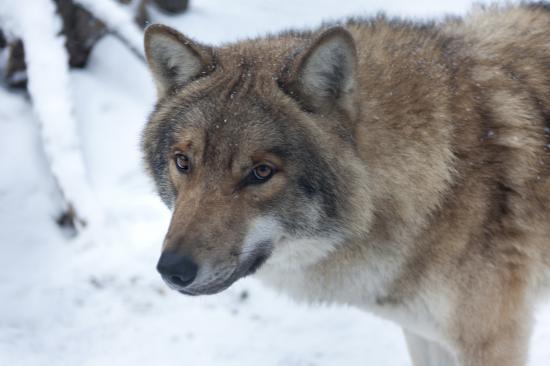 На снимке: Акелла - вожак волчьей стаи в зоосаде Деда Мороза.