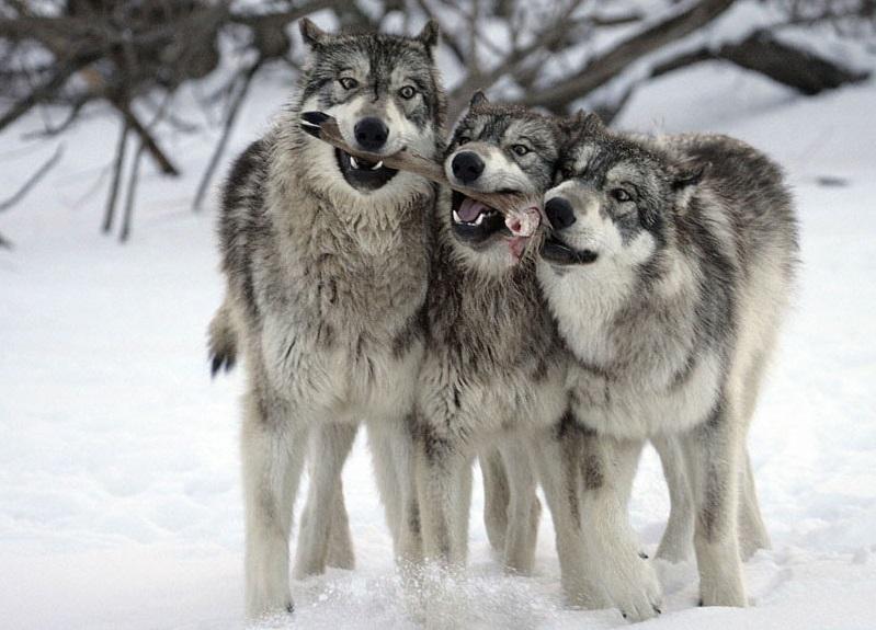 В Вологодской области будут поощрять добычу волков