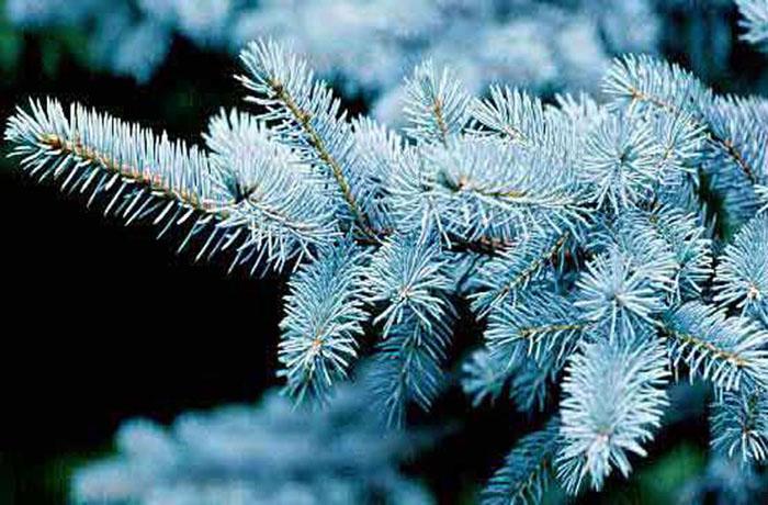 В Бабаево Вологодской области срубили голубые ели к Новому году