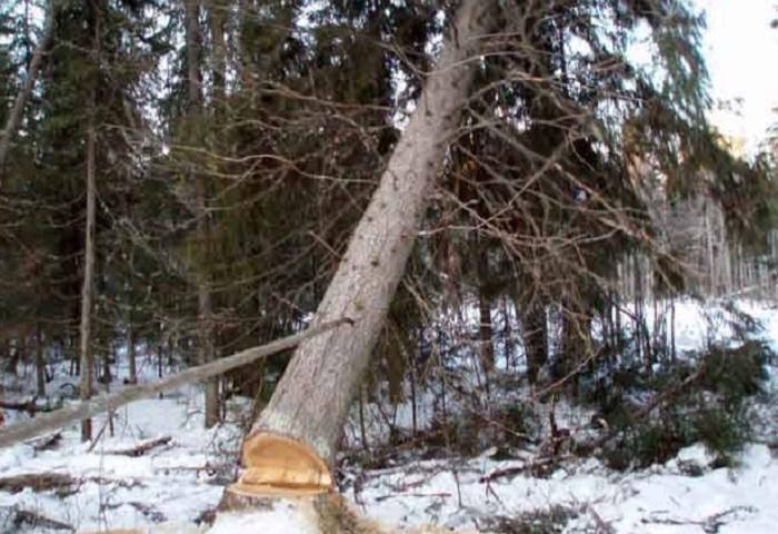 В смерти лесоруба в Вологодской области обвиняют предпринимателя