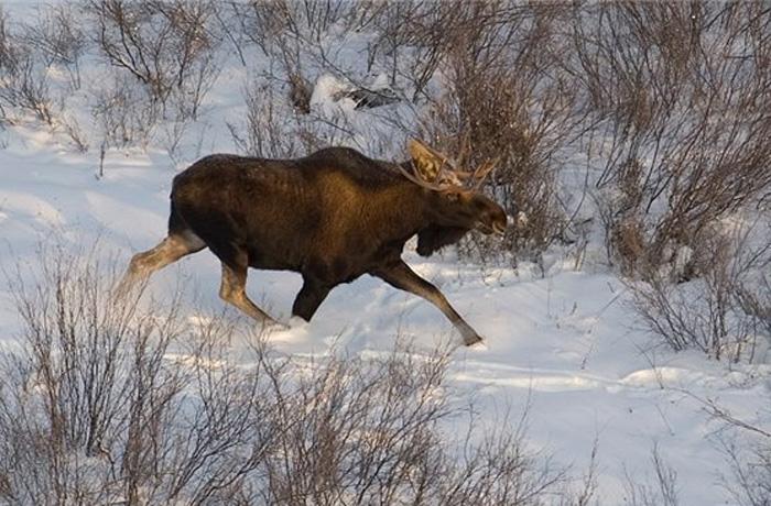 Вологжанин раскаялся в охоте на лося