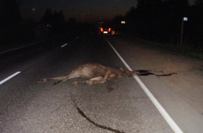 Три человека пострадали в авариях с лосями в Вологодской области