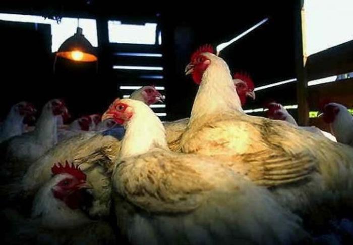 Вологодскую птицефабрику опять ограничили в электричестве