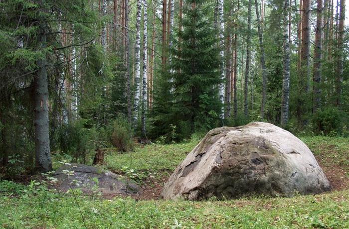 Самые старые дерево и роща в Вологодской области станут памятниками