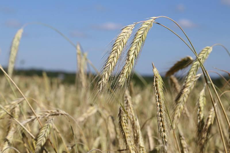 К 2020 году Вологодскую область планируют полностью обеспечить местным зерном