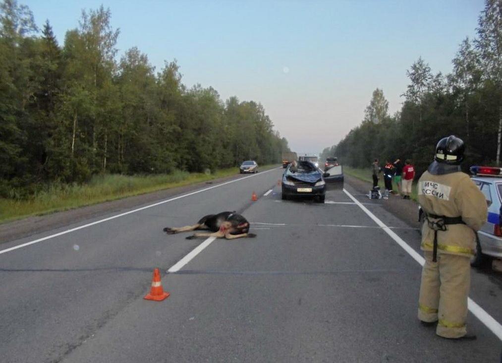 На трассе Вологда-Новая Ладога четыре человека пострадали в ДТП с лосем