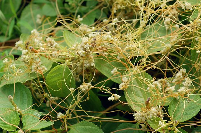 В Вологодскую область вместе с арбузами завезли ядовитое растение