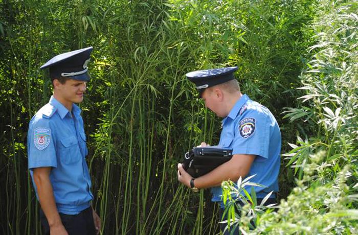 Вологодские полицейские вышли на конопляное поле