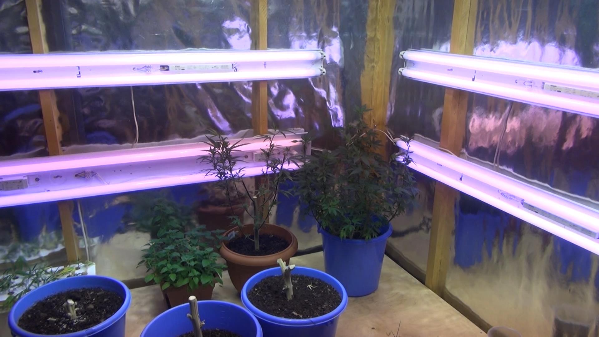 Вологжанин выращивал коноплю дома в теплице